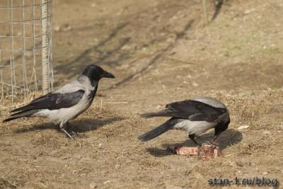 Вороны доедают за животными в зоопарке