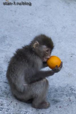 Маленькая обезьянка пытается съесть апельсин