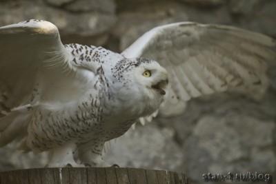 Белая полярная сова