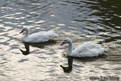 Лебеди на вечернем пруду